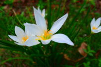 黄色花蕾的白色小花