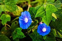 两朵蓝色的牵牛花