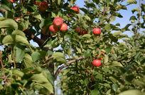 苹果树上的红苹果