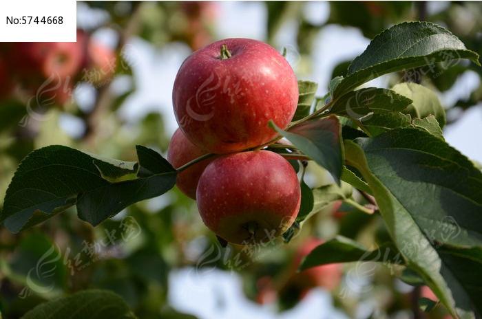 原创摄影图 动物植物 树木枝叶 树枝上的红苹果  请您分享: 素材描述