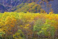 长白山火山岳桦林秋色