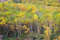 长白山岳桦林秋色