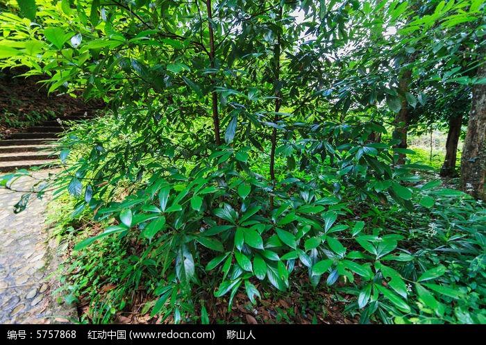 金丝楠木树高清图片_滇金丝楠木林小树高清图片下载_红动网
