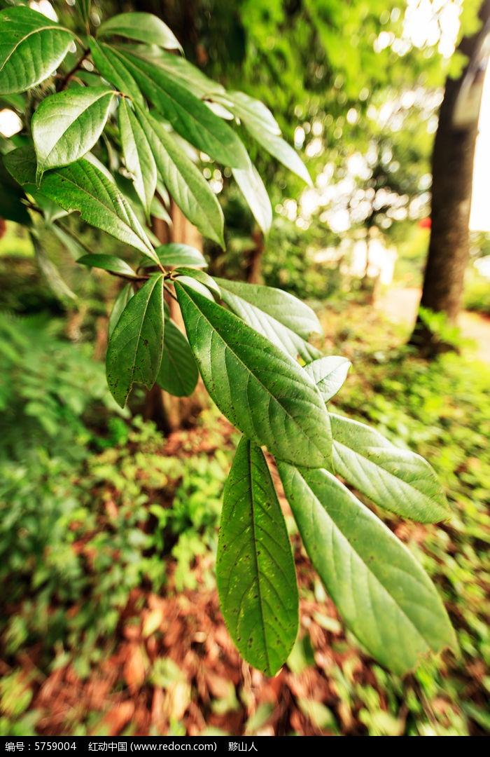 滇金丝楠木树叶图片