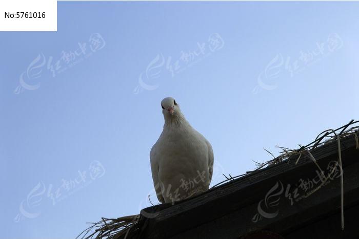 鸽子图片,高清大图_空中动物素材