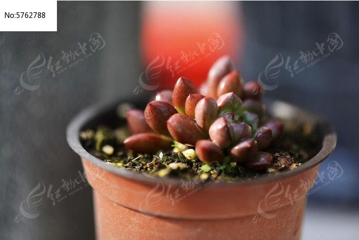 红宝石形多肉植物
