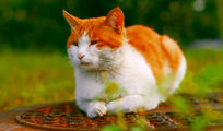 想念秋刀鱼的猫