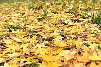 公园草丛上的枫树叶子