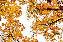 黄黄的黄栌树枝叶