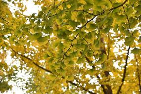 黄华山古银杏树