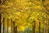 秋天里金黄色的银杏树林