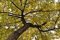 仰望秋天里的枫树