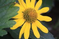 挡在绿叶后的黄色小菊花