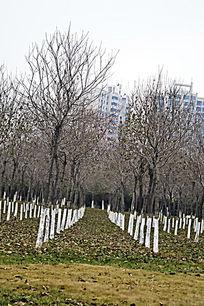冬季整齐的树林