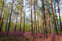 杜鹃花盛开的樟子松松林