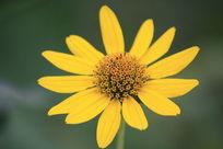 漂亮的黄色小菊花