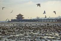 青岛栈桥飞翔的海鸥