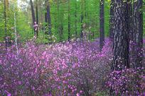 松林盛开的杜鹃花