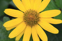 一朵黄色小菊花