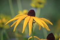 一朵小菊花