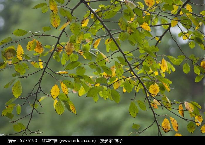 樱花树枝叶图片