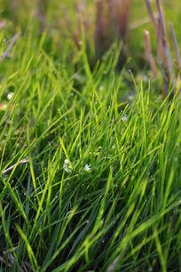 清晨的青草露水