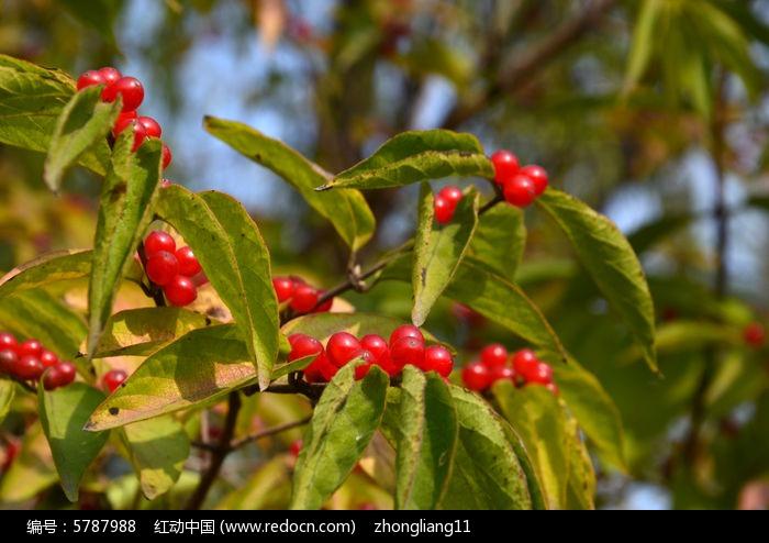 原创摄影图 动物植物 花卉花草 红色果实  请您分享: 红动网提供花卉