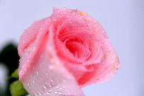粉嫩的玫瑰