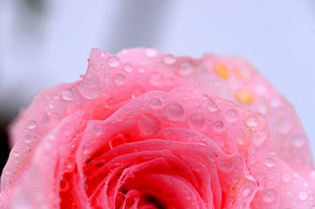 挂满露珠的粉色玫瑰