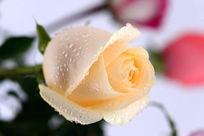 黄玫瑰花瓣与水珠