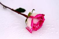 娇艳的红玫瑰