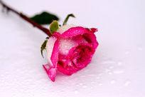娇艳欲滴的红玫瑰