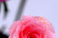 艳丽的粉色玫瑰