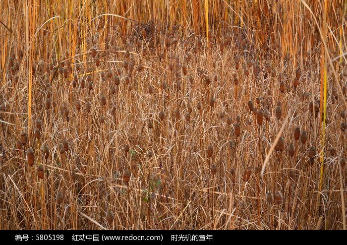 原创摄影图 qq怎么弄指定红包植物 花卉花草 芦苇杆  请您分享: 红动网提供花卉