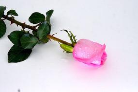 深粉色玫瑰