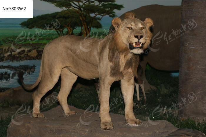 狮子标本图片,高清大图_陆地动物素材