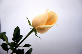 一束黄玫瑰