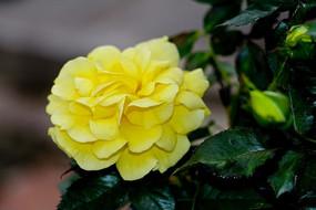 金黄色玫瑰特写