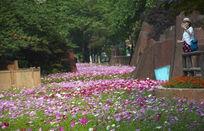 绿茵草甸美女迎春花盛开图片