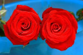 玫瑰鲜花花卉