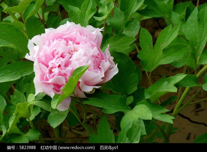 原创摄影图 动物植物 花卉花草 牡丹花图片