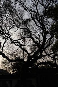 百草园黄昏古树