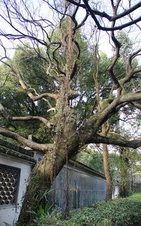 百草园内古树