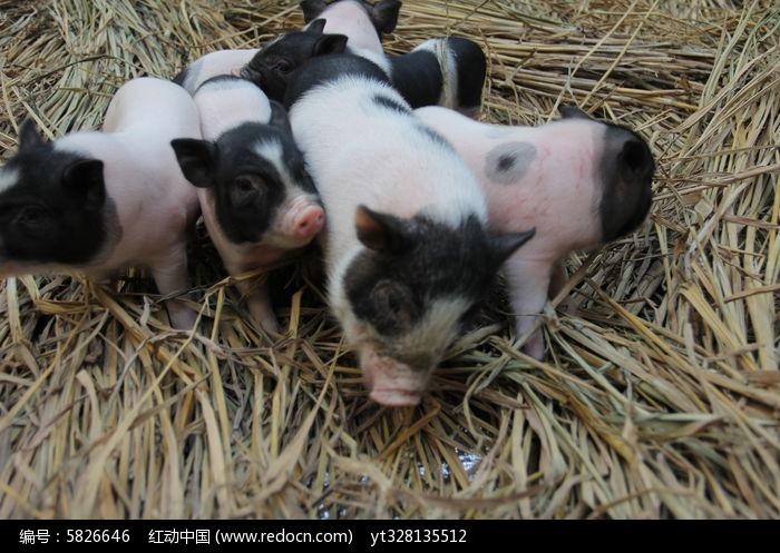 宠物小猪成群可爱图