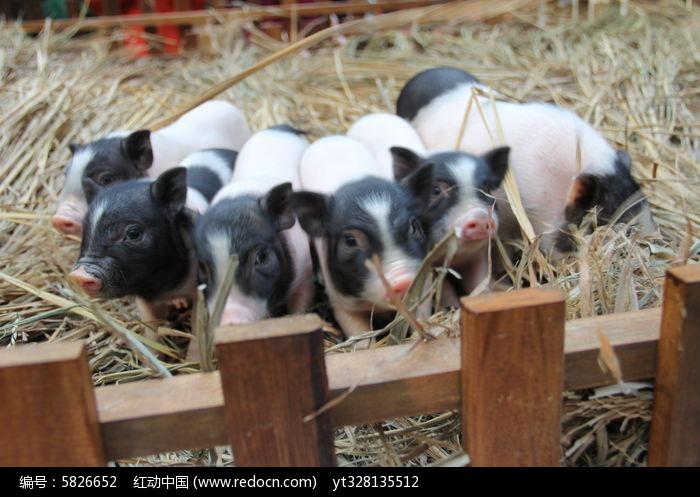 原创摄影图 动物植物 家禽家畜 宠物小猪排队萌照素材  请您分享: 红