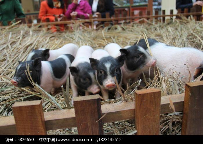 原创摄影图 动物植物 家禽家畜 宠物小猪排队照