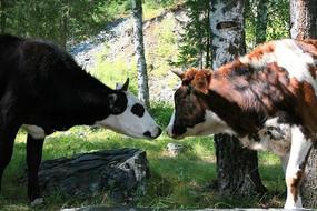 牧场奶牛对视
