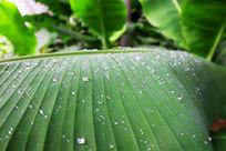 清晨露水覆盖的蕉细叶纹