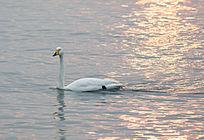 日出后金色水面的天鹅