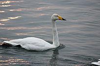日出后水中天鹅